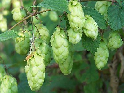 LUPULO para CERVEZA humulus lupulus  500 semillas seeds