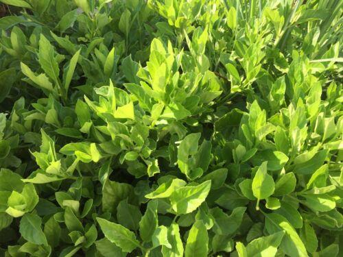Gynura procumbens 5 Longevity Spinach tropical Perennial Edible Plant Cutting