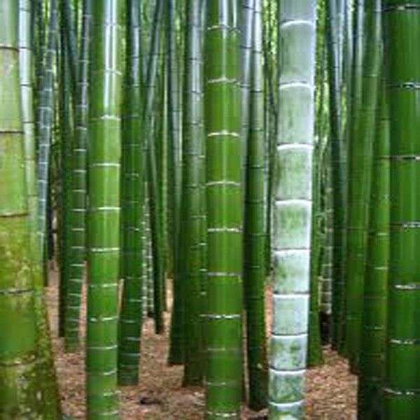 25 Moso Bamboo GIANT BAMBOO, Phyllostachys