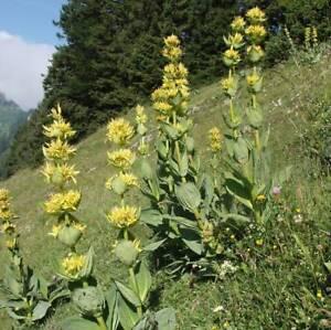 1000-Samen-Gentiana-lutea-Gelber-Enzian-Heilpflanze-Saatgut