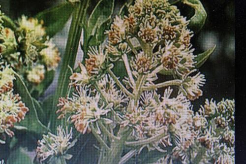 10 Samen Duftreseda,Reseda odorata#611