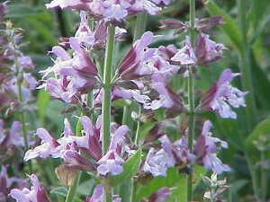 50//100Pcs Sage Seeds 2 Species Plants Flower Salvia Officinalis California White
