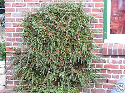 Fächermispel Cotoneaster horizontalis Herbstfärbung Beerengehölz