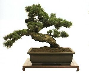 Everything You Need Know About Growing Bonsai Trees Karate Kid Learn Bush Cd Ebay