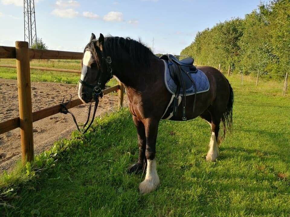 Irish Cob, vallak, 4 år