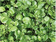 Salad - Watercress - 5g Seeds - Large
