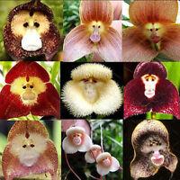 20x Monkey Face Blumen Samen Startseite Orchideengarten Seltene Pflanze Bonsai A