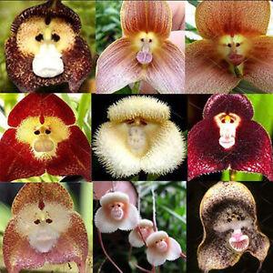 20x monkey face blumen samen startseite orchideengarten. Black Bedroom Furniture Sets. Home Design Ideas