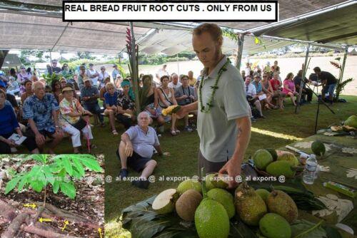 X 5 LIVE ROOTS 3-4 Inches pics BREADFRUIT root Cuts REAL-Artocarpus altilis