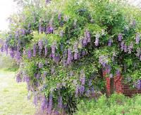 Texas-Mountain-Laurel, exotic Sophora secundiflora rare Mescal bean seed 15 seed