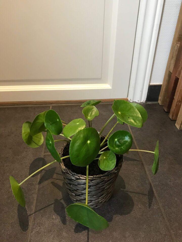 Stueplante, Pilea peperomioides