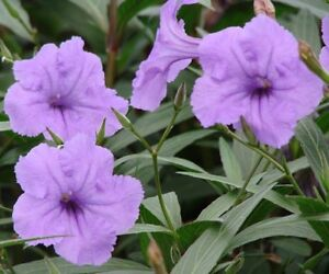 Image Is Loading 10 Plants In 2 Pots Mexican Petunia Ruellia