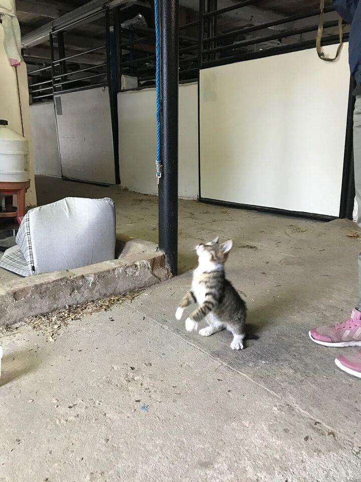 Hankilling, Dansk kat, 11 uger