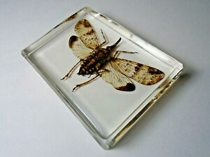 DICHOPTERA-NASUTA-FULGORIDAE-Plant-hoppers-insect-embedded-in-casting-resin