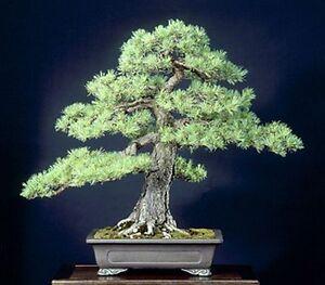 10 Scots Pine Bonsai Tree Seeds 10 Seeds Ebay