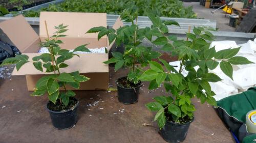 3 Stck Tetradium danielii hupehensis Duftesche BeeBeeTree Bienenbaum