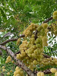 Currant-Grosella-estrellada-Tropical-Live-Fruit-Tree-1-3-Feet-Tall