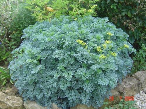 20 graines// seeds Ruta graveolens