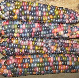 25 GLASS GEM CORN SEEDS HEIRLOOM 2021 ORGANIC ( U.S SELLER! NON-GMO!)