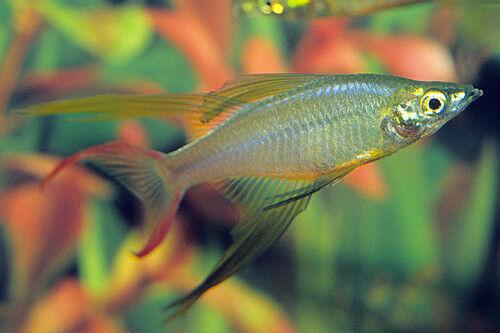 Featherfin Rainbowfish ^^ Iriatherina werneri ** Tropical Fish