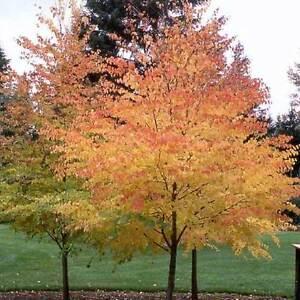 Katsura tree Cercidiphyllum japonicum VERY RARE - 15 to 1,000 Fresh seeds