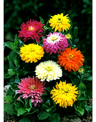 Huge Cactus Zinnia - GIANT FLOWER HEADS- MANY COLORS! 25 Seeds! Comb.S/H!
