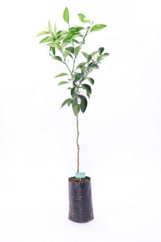 pianta di Arancio Navelina in fitocella Età 2 anni Altezza REALE 150cm