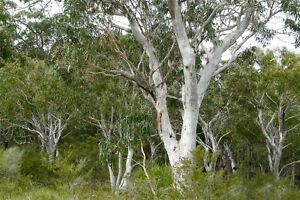 Image result for eucalyptus haemastoma
