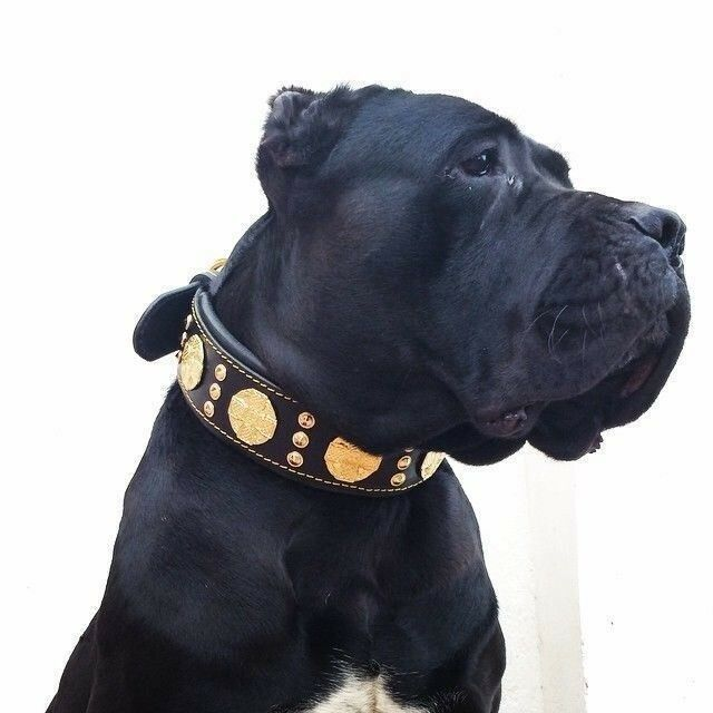Bestia  Maximus  genuine leather dog collar & leash. Large breeds. 2.5 inch wide
