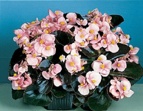 GORGEOUS BEGONIA PINK COCKTAIL BRANDY FLOWER SEEDS ANNUAL 30