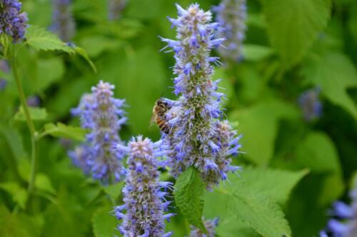 100 Superior LICORICE MINT Agastache Rugosa Korean Tea Herb Purple Flower Seeds