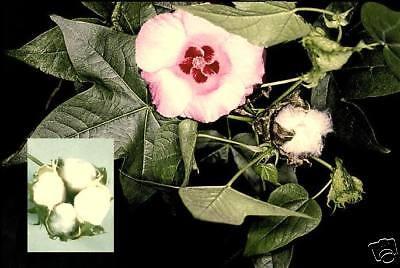 ♫♪ Echte Baumwollblumen ♪ Plüschig Und Schnellwüchsig ♫ Und Ein Langes Leben Haben.