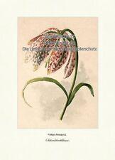 Schachbrettblume Fritillaria Meleagris Kiebitzei Liliengewächse Vilmorin A4 242