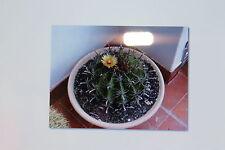 10 Samen Ferocactus herrerae,Kaktus,Kakteen, Twisted Barrel Kactus#368