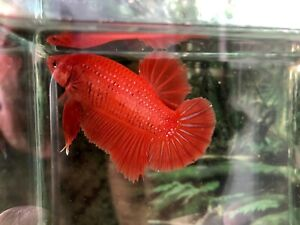 betta fish male giant Solid Orange very rare color to find, high quality fish🌟