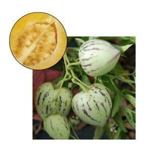 10pcs-Pepino-Dulce-Melone-Birne-Solanum-Muricatum-Obst-Samen-Pflanze-Garten-O6E8