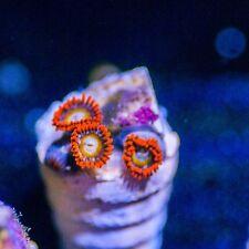 BBEB colony WYSIWYG Live corals SPS LPS Polyps chalice rare rainbow