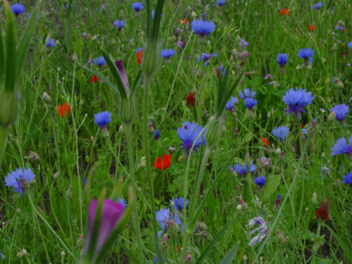 Blumenwiese Mischung 1 kg Samen Saatgut Qualität Blumenbeet Blumenmischung