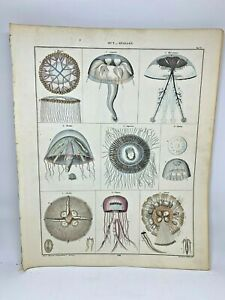 Antique-large-hand-colored-print-1843-Oken-039-s-Naturgeschichte-Plate-5-Jellyfish