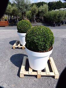 buchs kugel 50 cm in wei em dekotopf buchsbaum bux terassenpflanze ebay. Black Bedroom Furniture Sets. Home Design Ideas