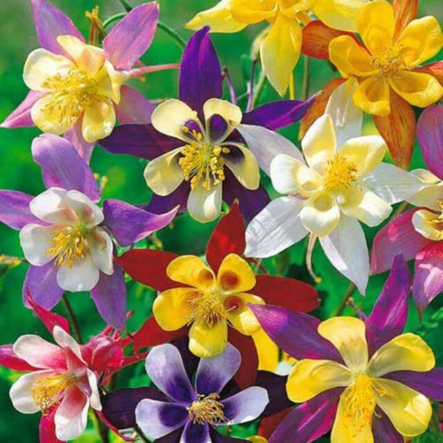Columbine Mix - Aquilegia - Perennial Flower Seeds