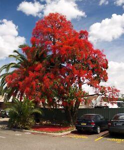 FLAMMENBAUM-Terrasse-Samen-exotische-Zierpflanze-Kuebelpflanze-Saatgut-Exot