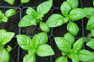 Herb-Basil-Vegetable-Seeds-Heirloom-select-QTY