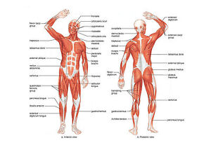 a4 poster - muscle layout of the human body (picture anatomy, Muscles
