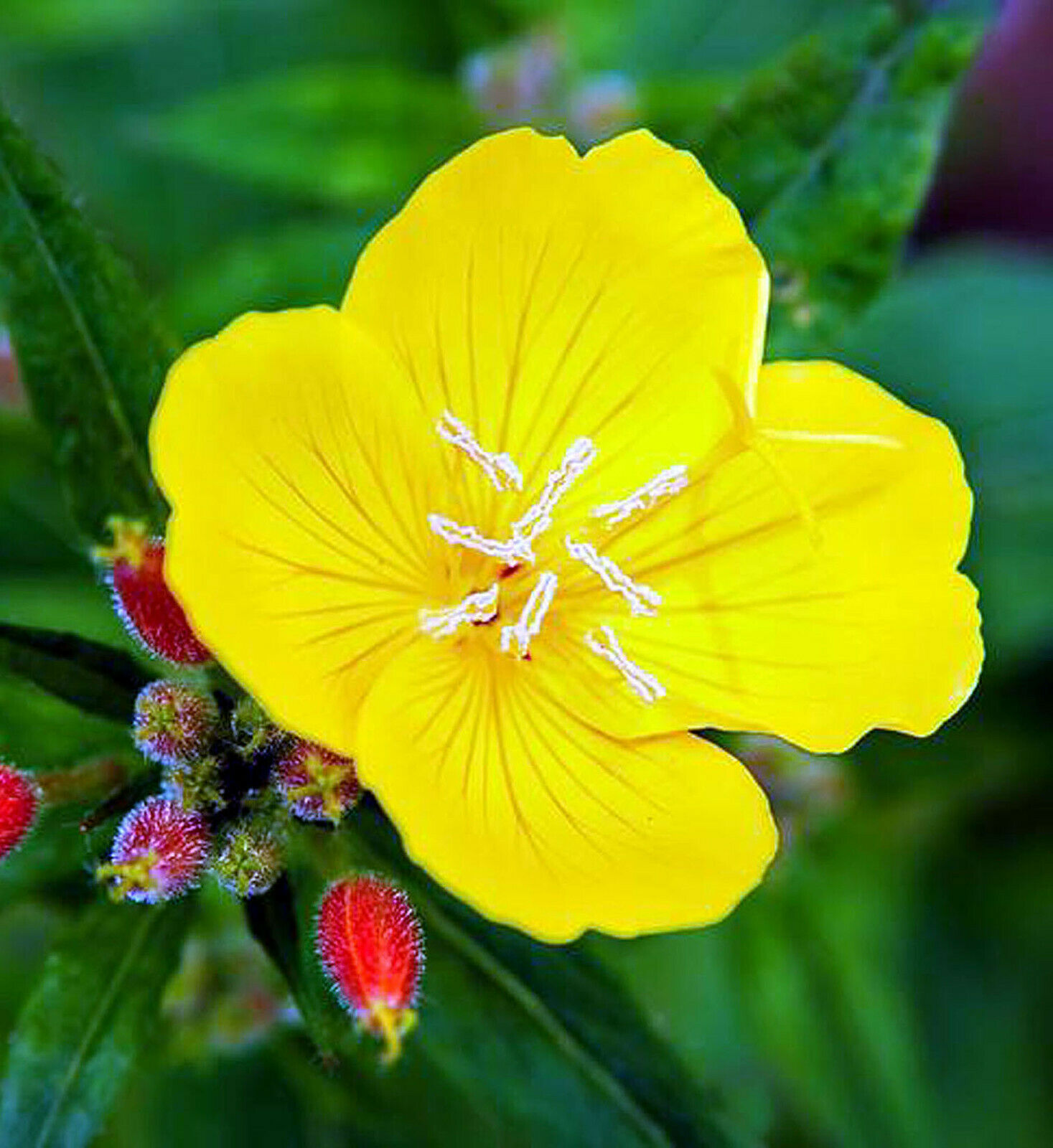 Evening Primrose Yellow - Oenothera - 400 Seeds - 2021