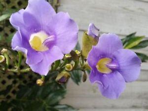 Blue Sky Vine Thunbergia Grandiflora Fast Growing Tropical