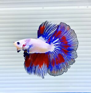 US SELLER (A-Grade) Male Fancy Halfmoon Betta imported from Thailand