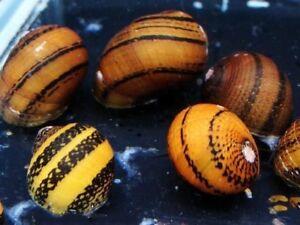 10 (dix) X Neritina Sp.   Escargots à joint torique