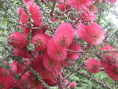 GRANITE HONEY-MYRTLE (Melaleuca elliptica)  X 150 Seeds