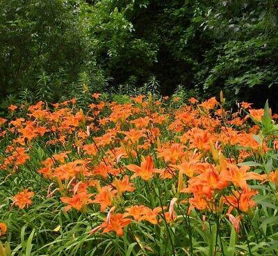 100 Orange Tiger Tawny Daylilies Bare Root Hemerocallis Fulva ...